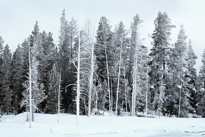 Even the trees seem to be cold when it's minus 20 degrees at old faithful