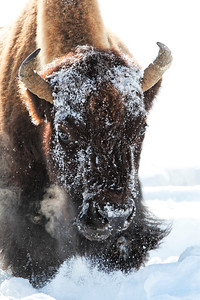 Would you like to come over here and complain to me that you're getting cold??  The bison forage in the snow