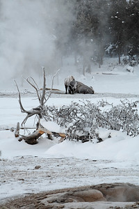 A cold winter's morning in old faithful geyser basin - even if you have a thick fur coat