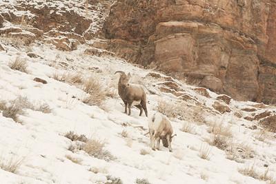 Big horn sheep along the lamar valley yellowstone national park winter
