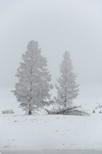 Ghostly trees in the snow and fog along the Madison river.