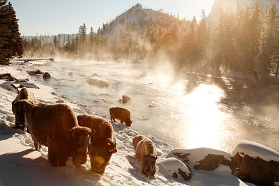 Coming out from their morning bath the bison enjoy the sun along the Madison river.