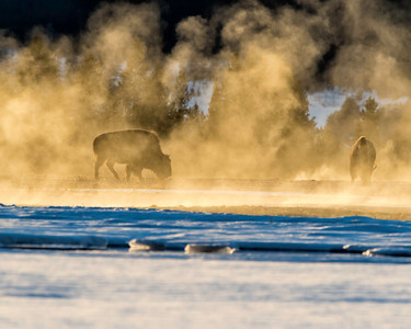 Bison obscured in the golden mist of the geysers at sunset