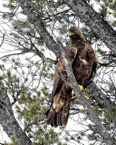 A Golden Eagle watches us from a safe perch above