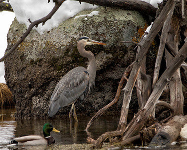 Great blue heron patiently  waiting for fish