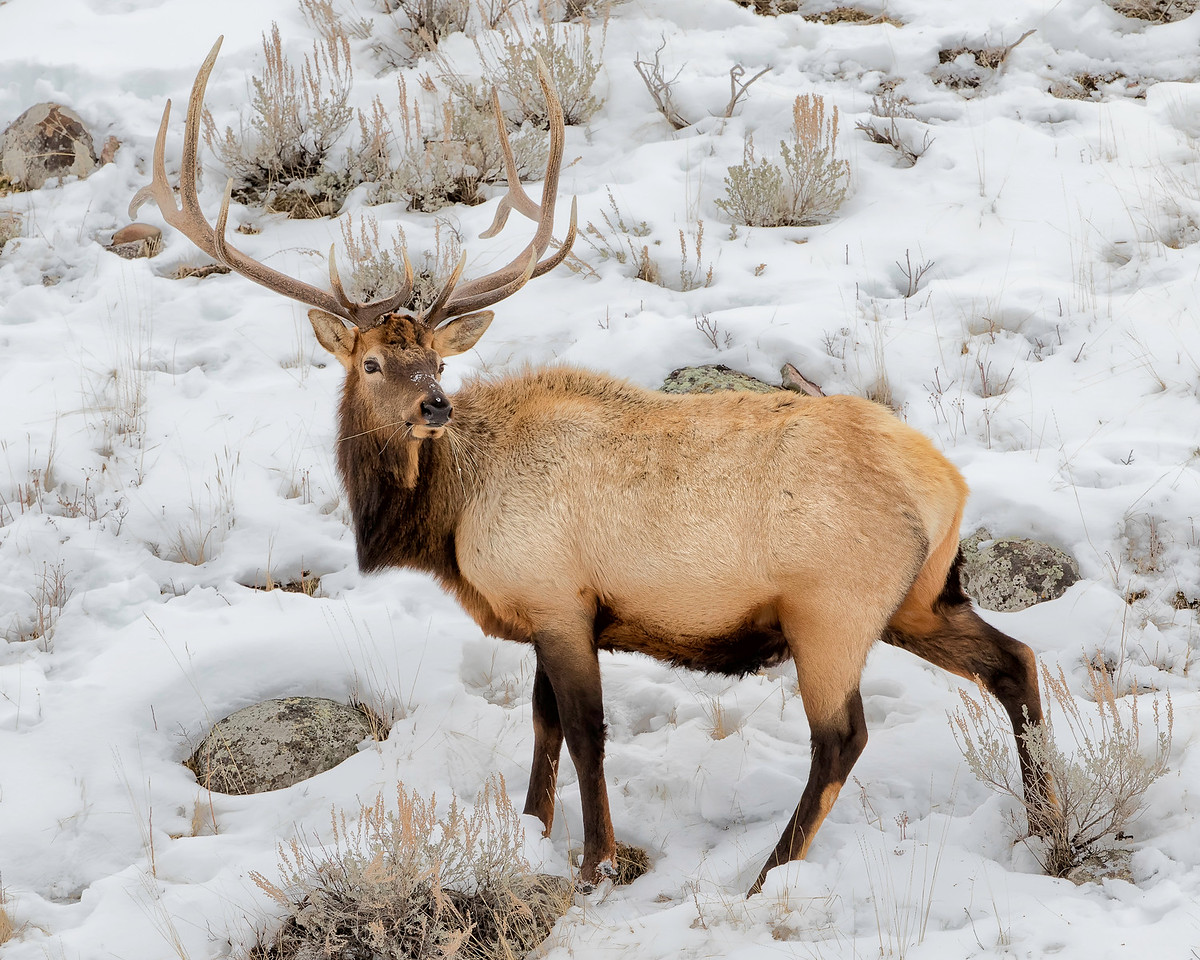 Large elk are common