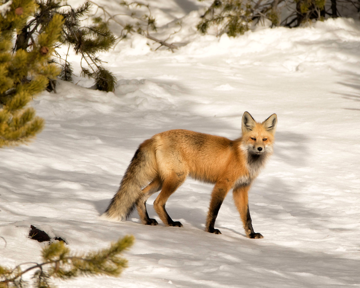 A fox watches us nervously from a few yards away