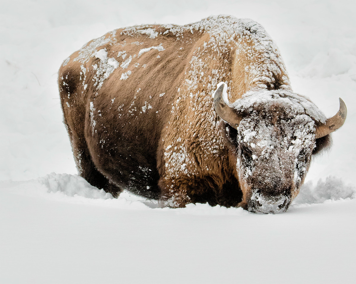 Yellowstone in winter is cold for everyone