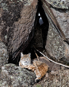 A bobcat rests quietly in his niche amongst the rocks