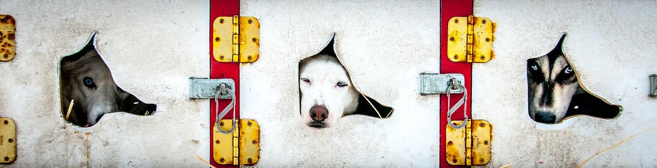 Dogs in their kennel in Dawson City, Yukon, Canada