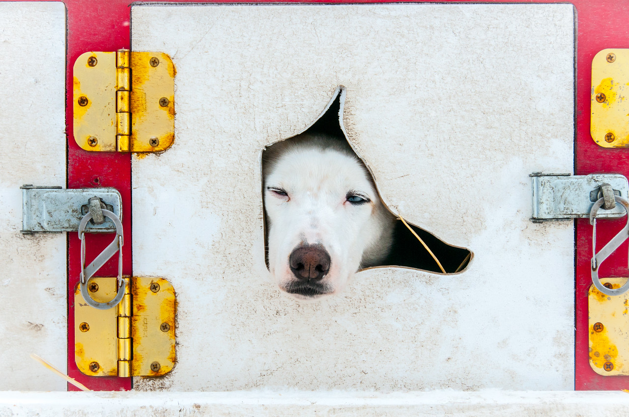 Dog in a kennel in Dawson City, Yukon, Canada