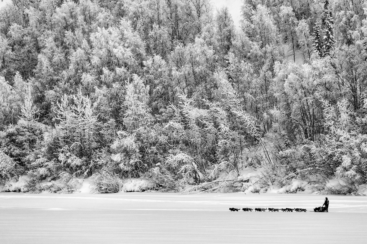 A Sled Dog Team Mushing on the Yukon River