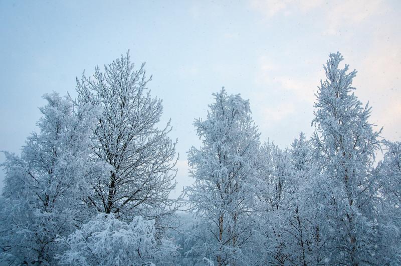 Snow covered trees in Dawson City, Yukon, Canada