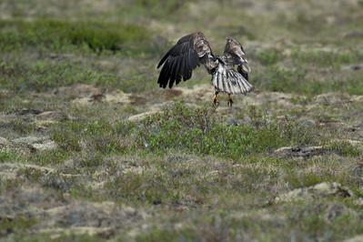 Wild bird in Dempster Highway, Yukon, Canada