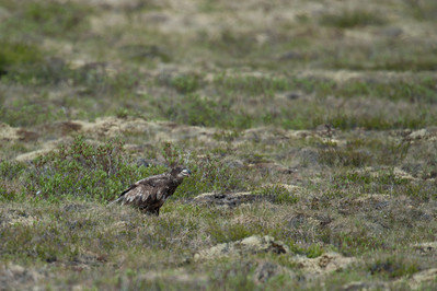 Wild bird in Dempster Highway, Yukon, Canada