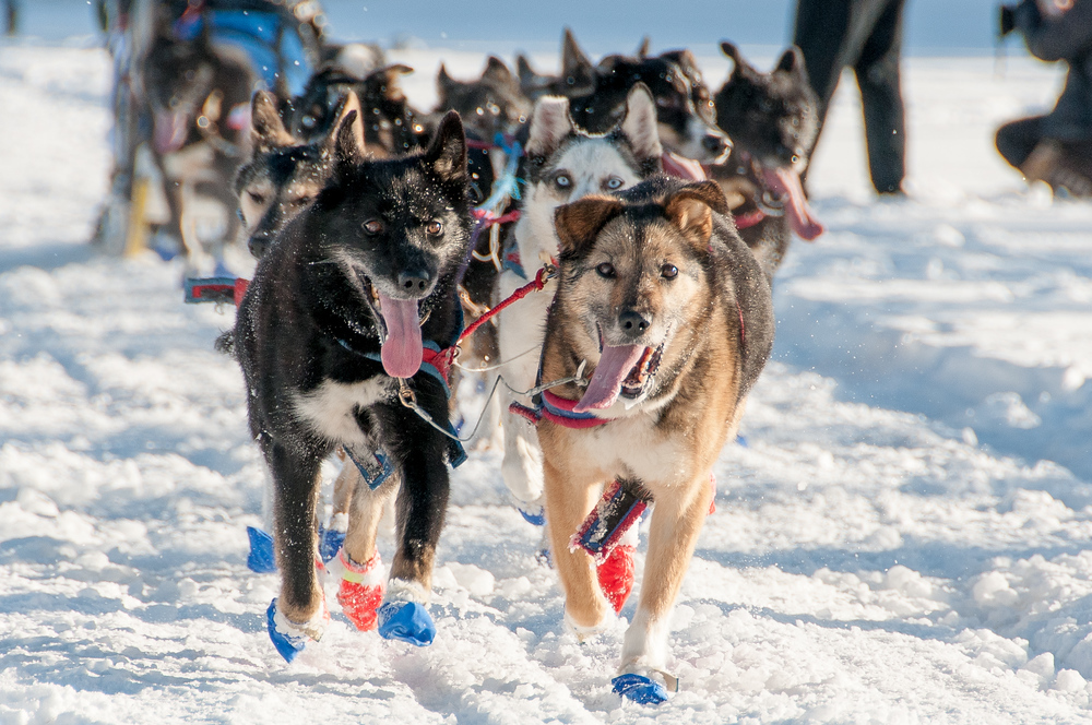 Sled Dogs on the Yukon River