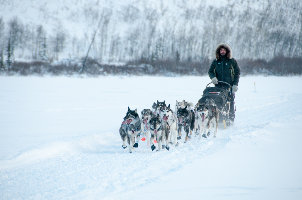 Sled Dog Team Running the Yukon Quest