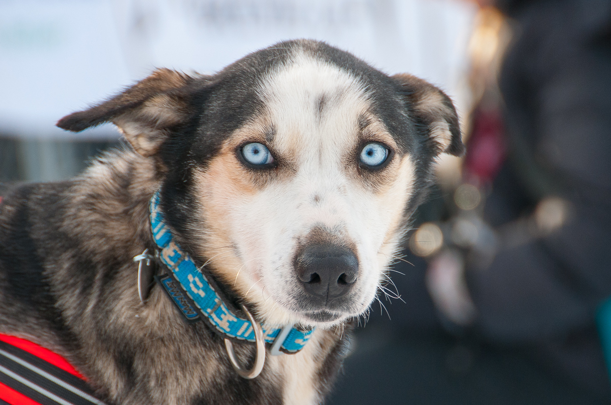 Sled Dog in the Yukon Quest Race