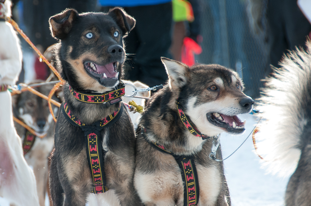 Sled Dogs at the Starting Line of the Yukon Quest