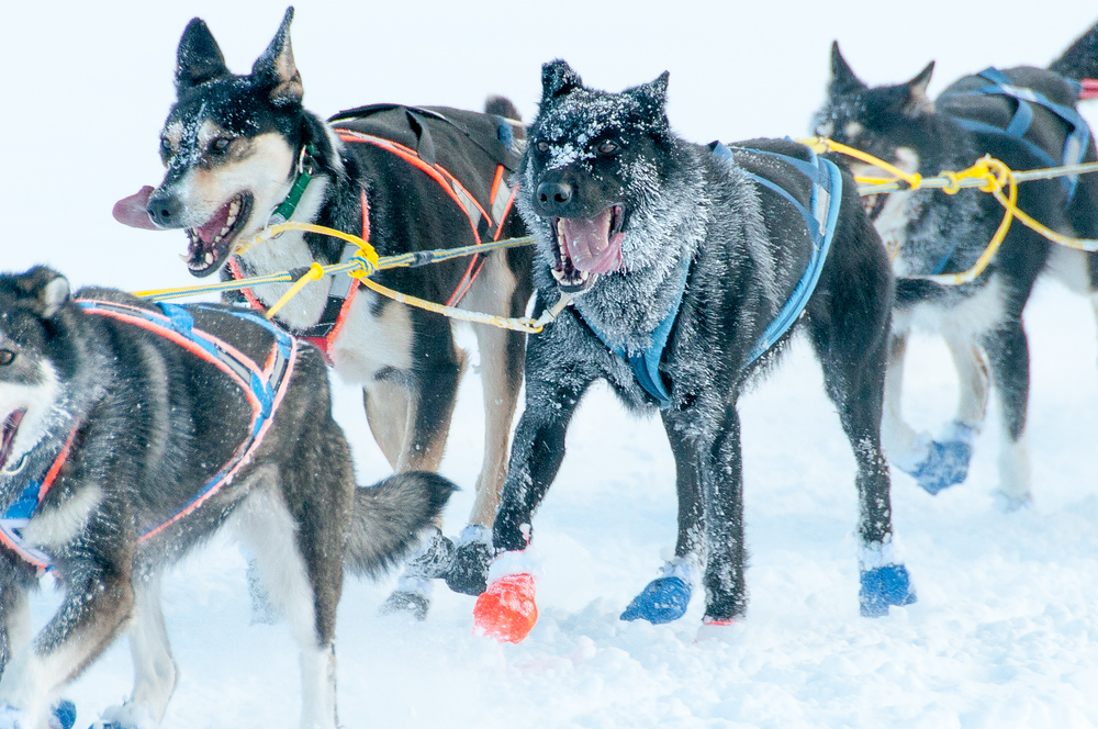 Running Sled Dogs in the Yukon Quest, Canada