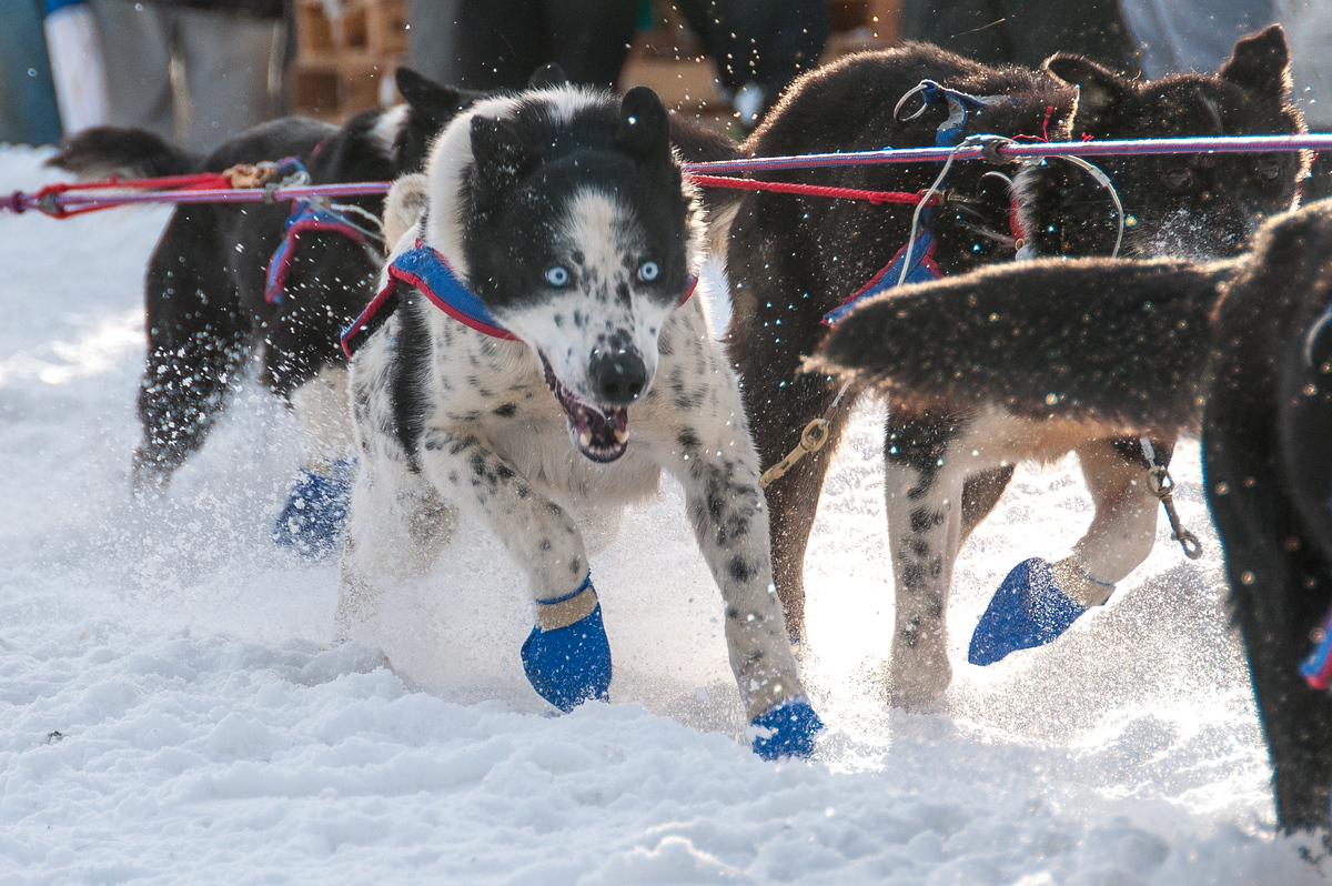 Sled Dogs at the Start of the Yukon Quest