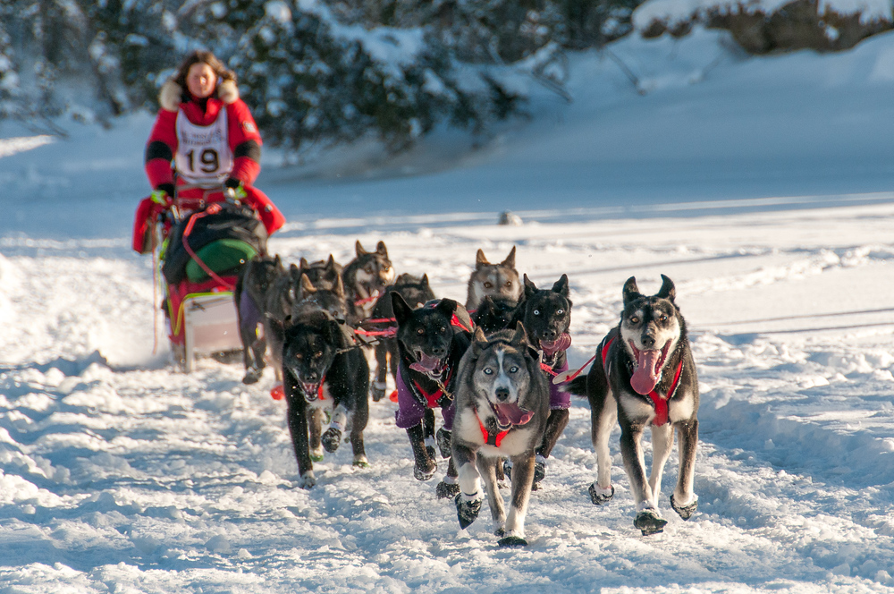 Dog team on the Yukon river