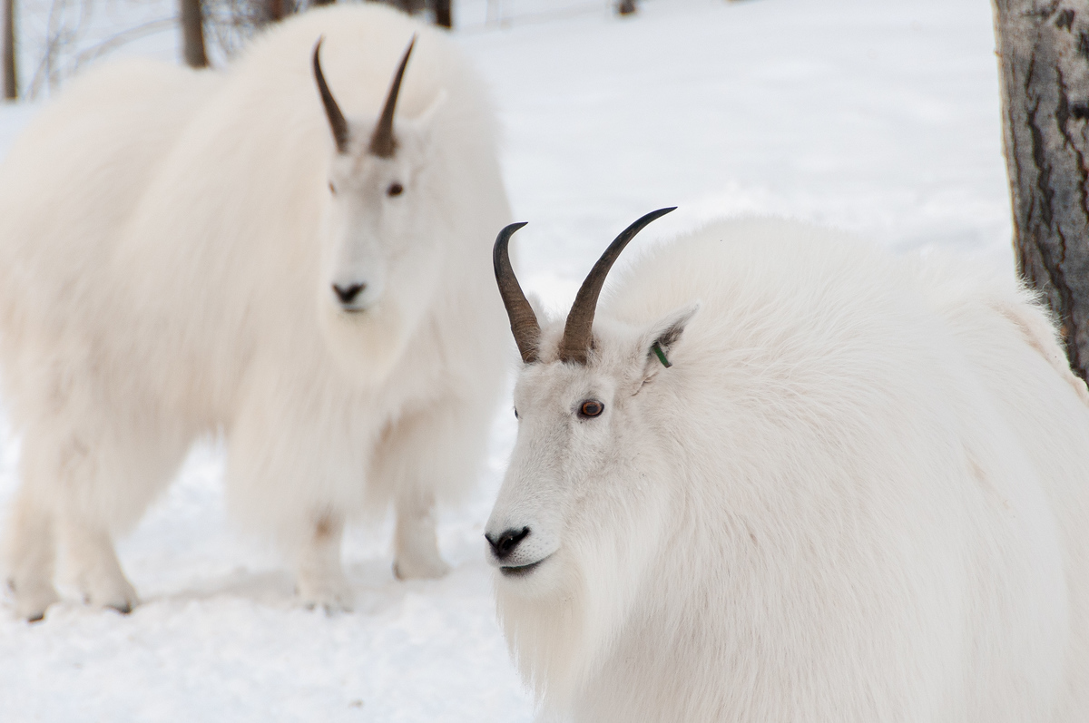 Pair of Mountain Goats in the Yukon, Canada