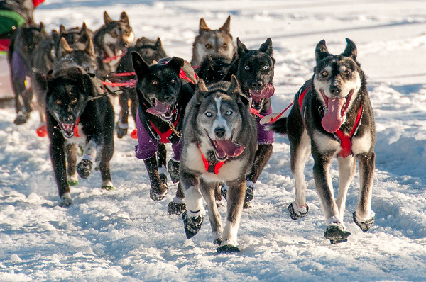 This is one of Gary Arndt's favourite photos of 2013.  It was taken on the frozen Yukon river and shows the excitement of sled dogs when they are running.