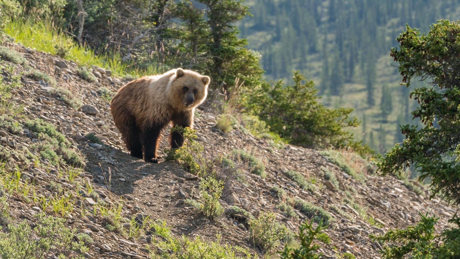 grizzly-bear-yukon-canada-1