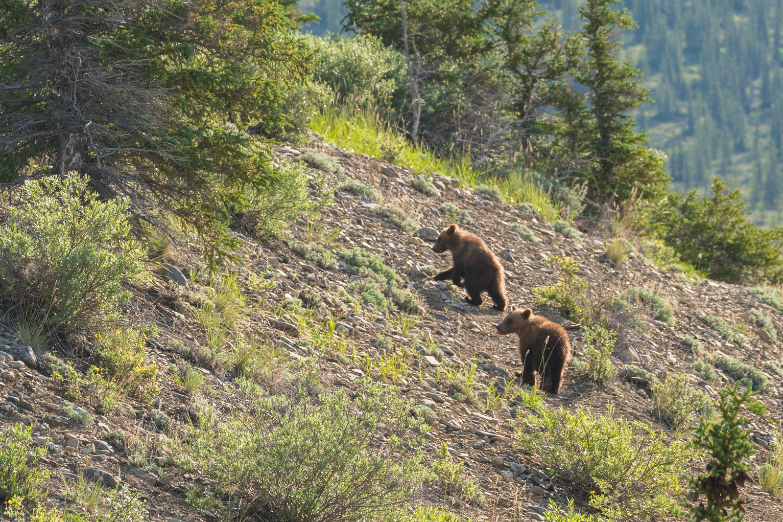 ivvavik national park grizzly-cubs-yukon-canada