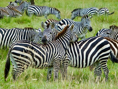Serengeti: Plains Zebra II