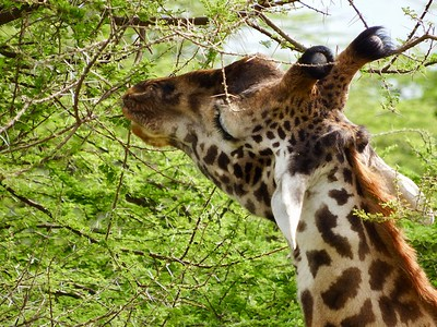 Serengeti: Giraffe Eating Acacia