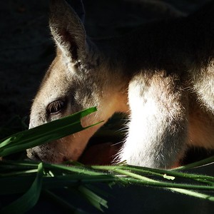Queensland: A Captive Macropod