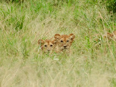 Serengeti: Lion Cubs