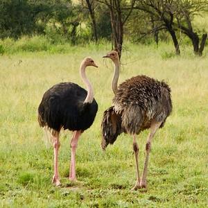 Serengeti: Male and Female Ostrich