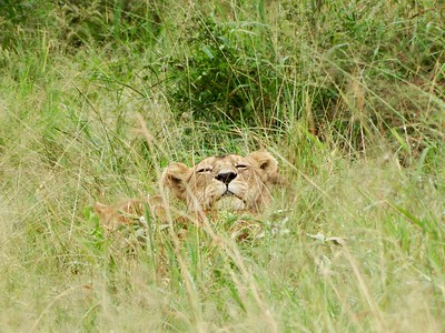 Serengeti: Mama Lion