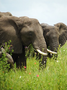 Serengeti: Elephants Depend on Flowering Plants