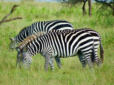 Serengeti: Plains Zebra