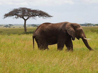 Serengeti: Male Elephant
