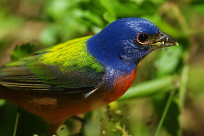 Painted bunting eating seeds at the photo blind High Island, TX