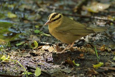 Worm-eating warbler High Island, TX
