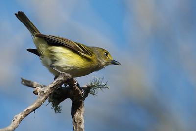 White-eyed vireo Quintana Neotropic Bird Sanctuary Freeport, TX
