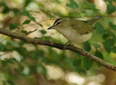 Red-eyed vireo High Island, TX