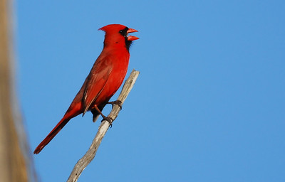Northern cardinal Quintana Neotropic Bird Sanctuary Freeport, TX