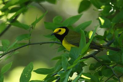 Hooded warbler High Island, TX