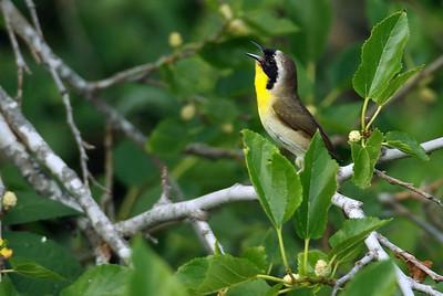 Common yellowthroat High Island, TX