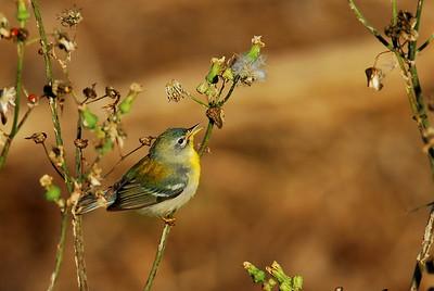 Northern parula, Quintana Neotropic Bird Sanctuary Freeport, TX