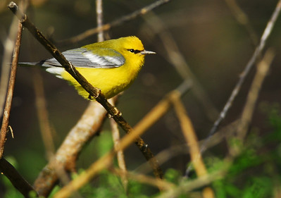 Blue-winged warbler Quintana Neotropic Bird Sanctuary Freeport, TX
