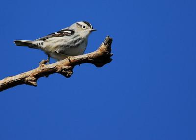 Black & white warbler Quintana Neotropic Bird Sanctuary Freeport, TX