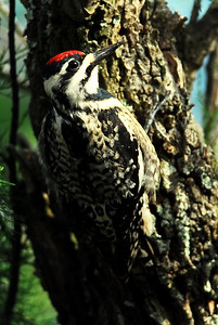 Yellow-bellied sapsucker Quintana Neotropic Bird Sanctuary Freeport, TX